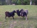 The Billy Sheep Gruff